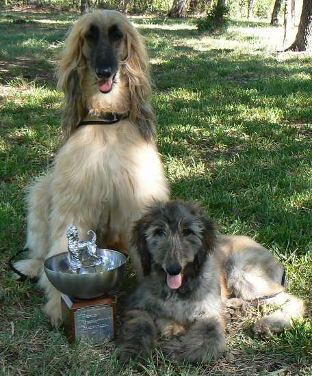roxie Afghan Hound Lure Coursing